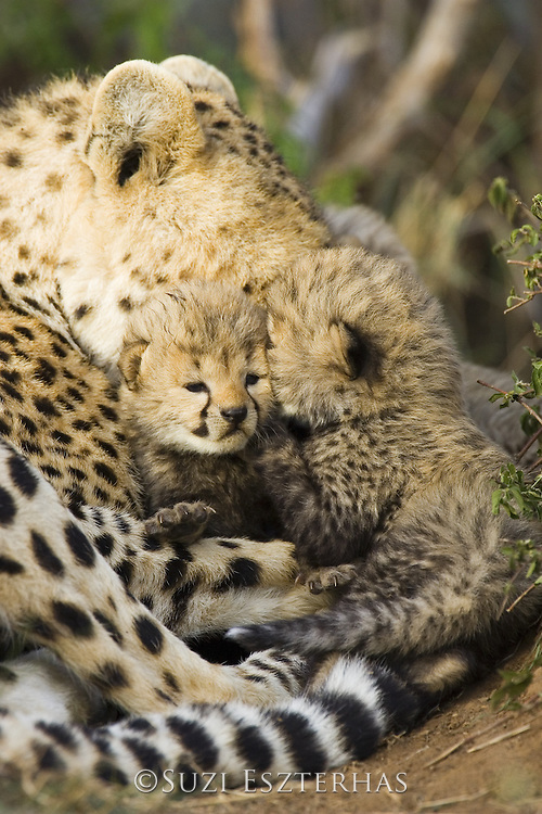 Cheetah<br /> Acinonyx jubatus<br /> 13 day old cubs with mother in nest<br /> Maasai Mara Reserve, Kenya