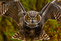 Great horned owl (Bubo virginianus), Alaska Wildlife Foundation, Ketchikan, Alaska USA