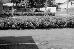 Pekin Il - rose hedge at home on S. Eighth St.<br /> <br />  Photos taken by George Look.  Image started as a color slide.