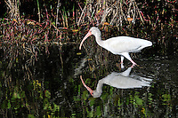 White Ibis Fishing at Merritt Island National Wildlife Reserve. Image taken with an Nikon D3x and 300  mm  f/2.8 VR lens (ISO 100, 300 mm, f/8, 1/320 sec).