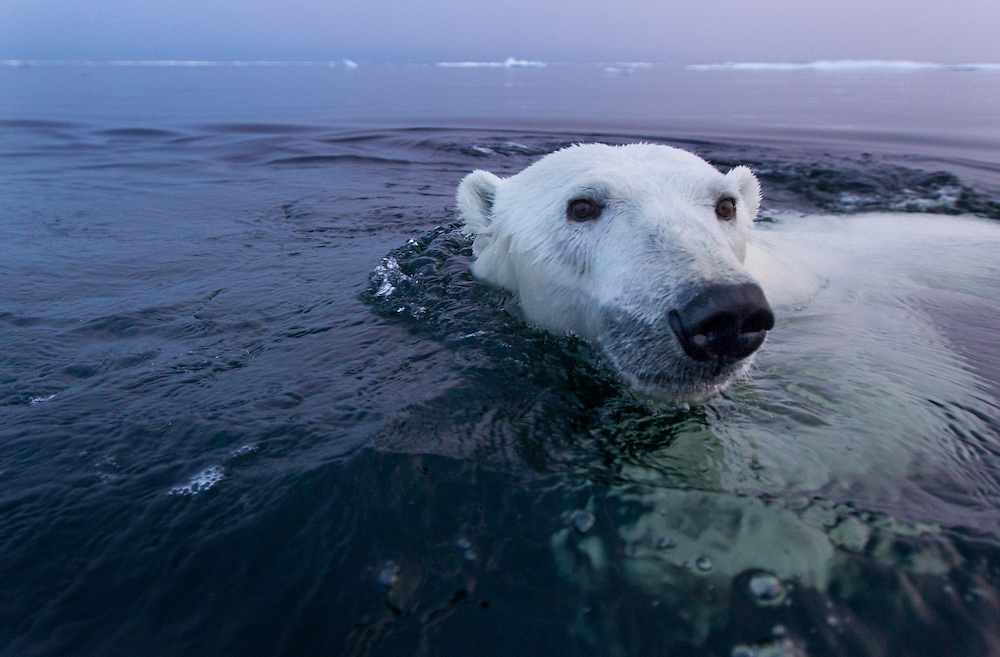Canada, Manitoba, Churchill, Polar Bear (Ursus maritimus) swimming in open water in Hudson Bay on summer evening