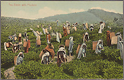 Tea Pluckers, Ceylon. Plate and Co.<br />from The Digital Public Library of America