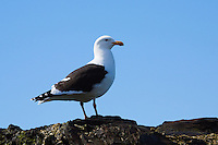 Seagull portrait standing on rocks against blue sky, Antarctica. Wildlife and nature photography wall art. Fine art photography prints. Stock images.