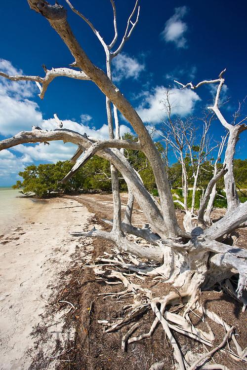 Dead sunbleached tree, Islamorada, Florida Keys, United States of America