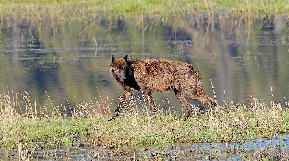 Lone wolves are often young adult wolves in search of new territory. Rather than challenging the dominance of the alpha pair, many young wolves leave their family and remain alone until they find a pack of their own.