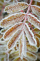 Frosted Mountain Ash, North Cascades Washington