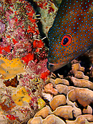 The Coney (Cephalopholis fulva) is found from Bermuda and South Carolina to southern Brazil, including the Gulf of Mexico and Atol das Rocas.  They are common in the Caribbean and less common in southern Florida and the Bahamas. The Coney weighs about a pound (0.5 kg), although occasionally it can weigh as much as 3 pounds (1.4 kg). Their average length is 6 to 10 inches (15-25 cm), with a maximum length of 16 inches (41 cm). Coney's feed primarily on small fish and crustaceans. As with many other groupers, the females transform into males when they reach about 8 inches (20 cm). The Coney also has many color phases including a common phase shown here, a bicolor phase in which the upper body is dark and the lower body is pale, and a bright yellow phase with few spots.