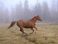 chestnut mare galloping accross field