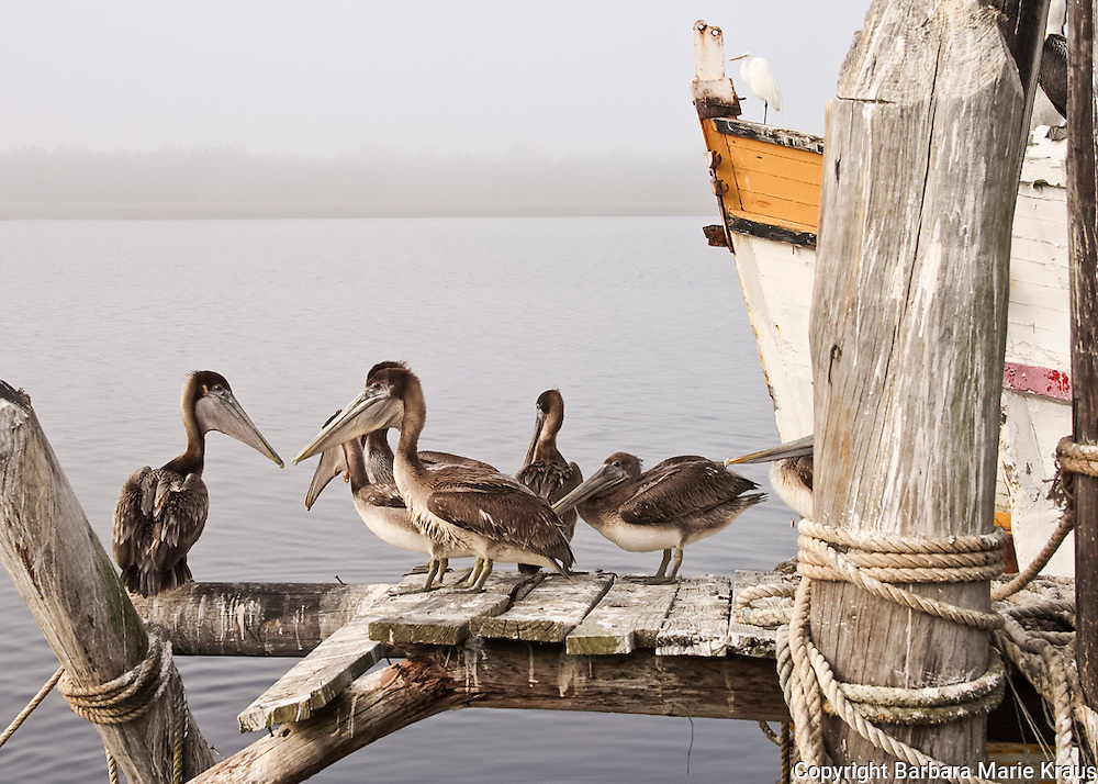 A Misty morning on the Shrimp Boat docks of Brunswick, Georgia.  A favorite Brown Pelican hangout.