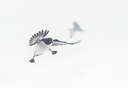 Thick-billed Murre (Uria lomvia) in snow, early on nesting site, Varanger, Finnmark, Norway
