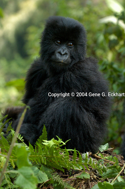 Mountain Gorilla (Gorilla beringei beringei) <br /> Virunga Volcanoes - Parc National des Volcans, Rwanda <br /> Humura from the Susa Group sits quietly atop a fallen tree and surveys the group of tourists that are snapping nonstop in Parc National des Volcans, Rwanda.
