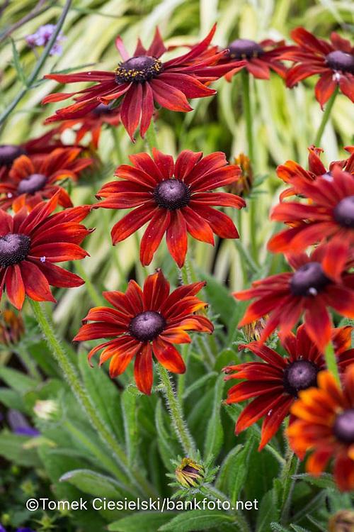 Rudbeckia 'Summerina Brown'