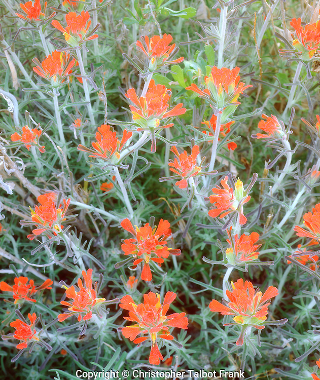 I came in close for my photo of Indian Paintbrush wildflower patterns in Anza Borrego Desert State Park.  The repetitive patterns makes this reddish orange flower an interesting abstract image.