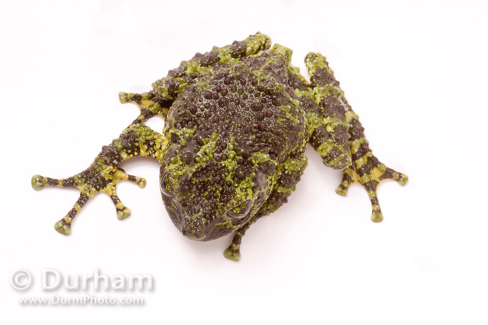 A vietnamese mossy frog (Theloderma corticale). Native to northern vietnam. captive.