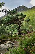 A twisted pine tree grows beside purple heather flowers at the foot of Ben Nevis, on the trail to Steall Gorge (or Nevis Gorge) and Steall Waterfall, in the valley of Glen Nevis near Fort William, Scotland, United Kingdom, Europe. One of the best short hikes in Scotland ascends 220 m to the falls (3.5 km / 2.25 miles round trip) via Nevis Gorge, an area owned by the John Muir Trust, which is attempting to restore wilderness here after centuries of burning and grazing. This image was stitched from several overlapping photos.