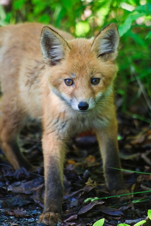 A red fox (Vulpes vulpes) kit plays near its den, Bombay Hook National Wildlife Refuge, Smyrna, Delaware.