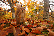 Red Squirrel (Sciurus vulgaris) in autumn woodland, Scotland