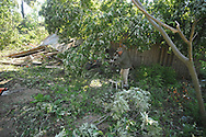 Earl Jones helps remove downed trees at his brother J.D. Jones house in the Pine Flat area of Lafayette County south of Oxford, Miss. on Thursday, April 28, 2011. A Wednesday afternoon storm destroyed houses and uprooted trees.