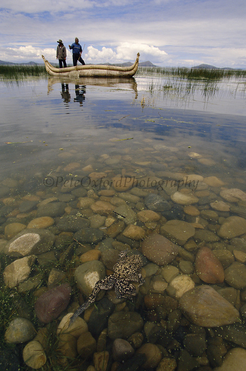 Giant Titicaca Frog (Largest aquatic frog in the World)<br />Telmatobius culeus<br />Lake Titicaca.  BOLIVIA & PERU  South America<br />Totora Reed Boat in Back
