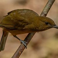 Vogelkop Bowerbird (Amblyornis inornata). West Papua, Indonesia.