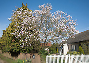 Garden magnolia tree in flower on sunny day with blue sky, Hollesley, Suffolk, England
