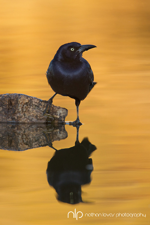 Grackle standing on rock in golden water;  Arizona in wild.