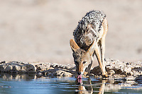 Black-backed Jackal drinking from a waterhole in the Nossob Riverbed of the Kalahari , Kgalagadi Transfrontier Park, Northern Cape, South Africa
