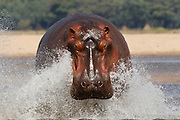 A hippo runs in to the Zambezi river in the Lower Zambezi National Park, Zambia, Southern Africa.