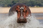 A hippo runs in to the Zambezi river in the Lower Zambezi National Park, Zambia, Southern Africa.