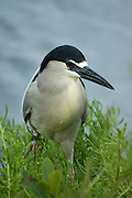 Black-crowned night heron by a marsh