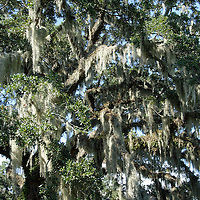 Moss hangs from a live oak in the Brookgreen Gardens in Murrells Inlet, SC. Photographed 8/30/08
