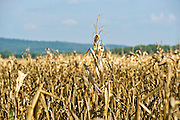 A field of dead corn during a drought in Oklahoma