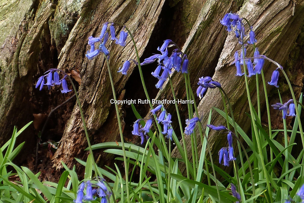 Native English bluebells (Hyacinthoides non-scripta) against the deeply fissured, decaying stump of an ancient tree in Southrey Wood, Lincolnshire. <br />