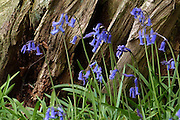 Native English bluebells (Hyacinthoides non-scripta) against the deeply fissured, decaying stump of an ancient tree in Southrey Wood, Lincolnshire. <br /> <br /> The Lincolnshire Limewoods are scattered remnants of ancient woodland, the largest area of woodland dominated by Small-leaved Lime in Britain. The species was thought to have been introduced to Britain but is now considered to have been native.<br /> <br /> Date taken: 01 May 2015.