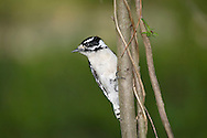 Downy Woodpecker, In A Typical Pose, Picoides pubescens
