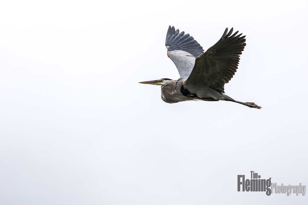 Great blue heron flying above Shollenberger Park, Petaluma, California