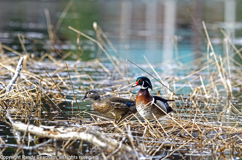 A pair of wood ducks on a pond in spring. Yaak Valley in the Purcell Mountains, northwest Montana.