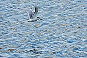 Tern flying with fish<br /> Delta Marsh<br /> Manitoba<br /> Canada