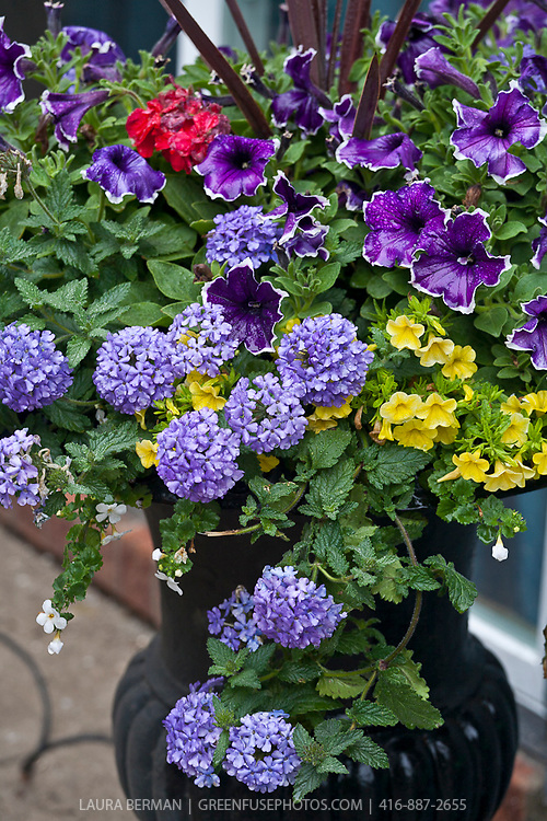 Purple and white petunias and annual blue verbenna in a black cast iron urn.