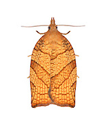 49.024 (0969)<br /> Chequered Fruit-tree Tortrix - Pandemis corylana