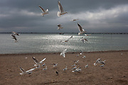 Hovering seagulls hoping for chips on the Eastern Esplanade at Southend-on-Sea, Essex.