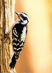A soft flowing close-up of a Downy Woodpecker with a bit of a Georgia O'Keeffe flare