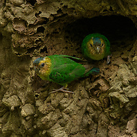 Scarcely larger than your thumb, the Buff-faced Pygmy Parrot (Micropsitta pusio) is the world's smallest parrot. Here, a mated pair peer out from their nest hole that they have excavated in an arboreal termite mound within the lowland rainforest of western New Guinea.