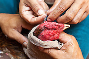 11 APRIL 2010 - PLA PAK, NAKHON PHANOM, THAILAND: Men suture their fighting cock's head after it passed out during a fight. The bird recovered from its wounds and went on to win its match. Cockfighting is enormously popular in rural Thailand. A big fight can bring the ring operator as much as 200,000 Thai Baht (about $6,000 US), a large sum of money in rural Thailand. Fighting cocks live for about 10 years and only fight for 2nd and 3rd years of their lives. Most have only four fights per year. Fighting cocks in Thailand do not wear the spurs or razor blades that they do in some countries and most times the winner is based on which rooster stops fighting or tires first rather than which is the most severely injured. Although gambling is illegal in Thailand, many times fight promoters are able to get an exemption to the gambling laws and a lot of money is wagered on the fights. Many small rural communities have at least one cockfighting arena.   PHOTO BY JACK KURTZ