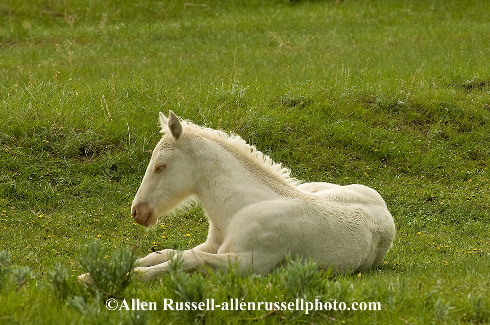 Quarter Horses, cremello foal rest in pasture<br />