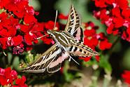 Butterflies, Moths & Caterpillars