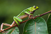 Giant leaf frog (Phyllomedusa bicolor)<br /> Rain Forest<br /> Iwokrama Reserve<br /> GUYANA<br /> South America<br /> RANGE: Central America & Northern South America