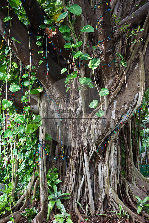 A banyan tree with philodendron grows in a park in San Juan, Puerto Rico.