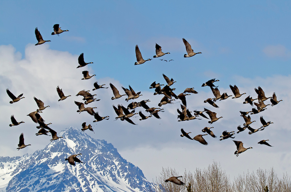 Alaska. Canada Geese (Branta canadensis) in flight during spring migration through the Matanuska Valley.