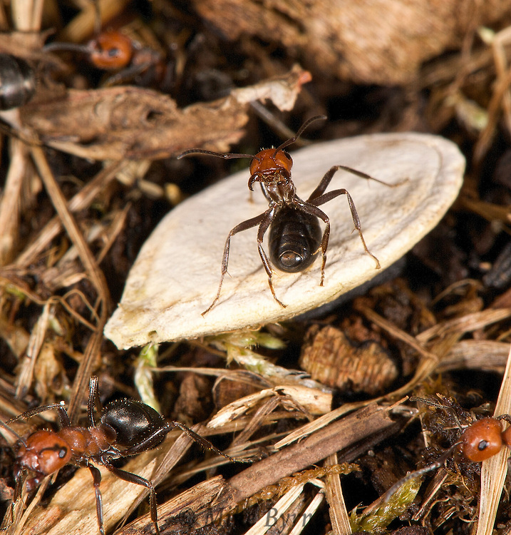 Black And Red Ant, Formica obscuriventris,  Courtenay,  Comox Valley,  British Columbia,  Canada,  (Photographer;  Isobel Springett),